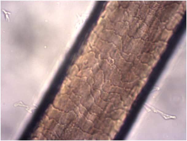 cheveux microscope